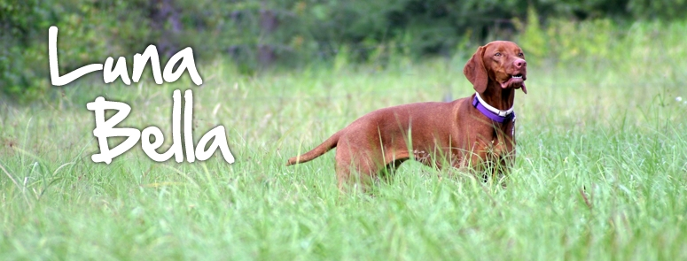 CH Egri Luna Bella of Edisonia JH CGC - Our champion Vizsla & foundation bitch of Edisonia Vizslas.  Luna like any Vizsla loves to be free in a field, especially if hunting quail or pheasant.